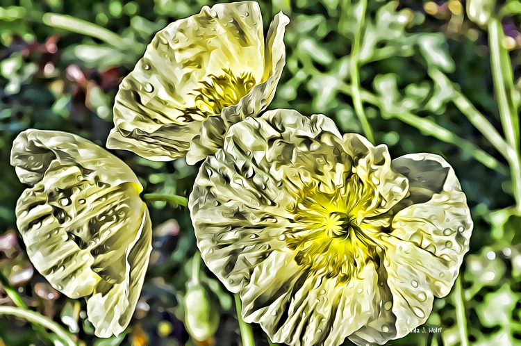 image of yellow poppies