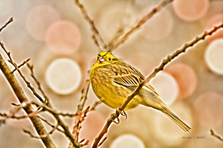 A Buff Little Haiku about the Yellowhammer Bird