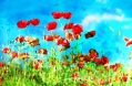 image of poppies and blue sky