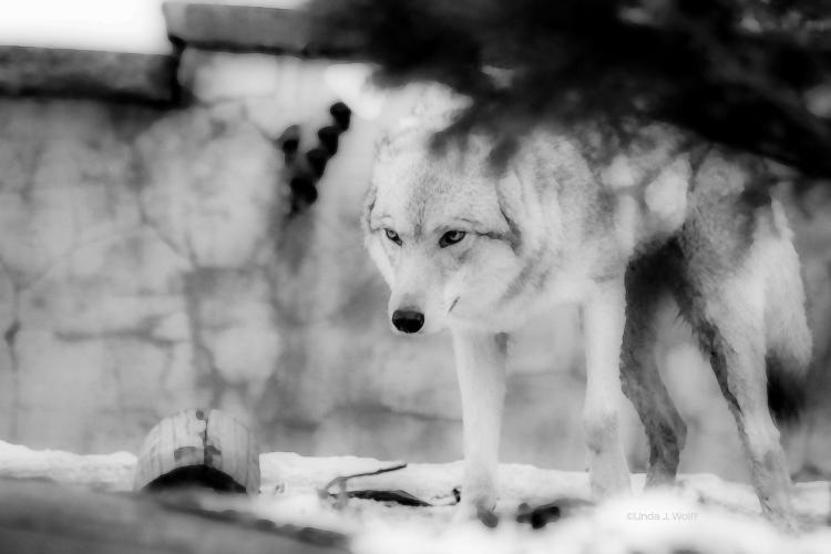 """Image of free verse poetry, """"Wolf's True Self."""""""